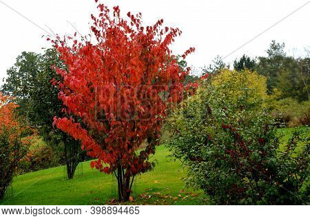 Is An Early Flowering Tree, A Flower Of Delicate Pink Half-full Flowers. The Deciduous Leaves Are Da