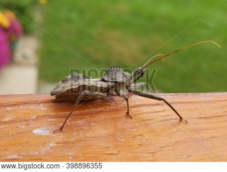A Wheel Bug , The Largest Terrestrial True Bugs In North America