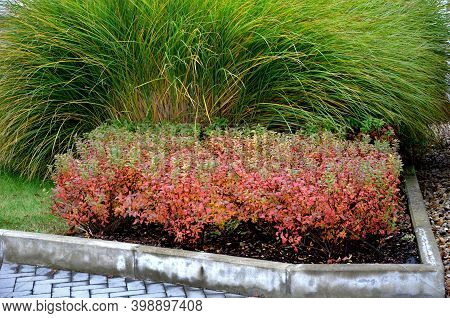 The Plant Prefers A Sunny Habitat, But It Can Withstand Partial Shading, But The Red Color Of The Le