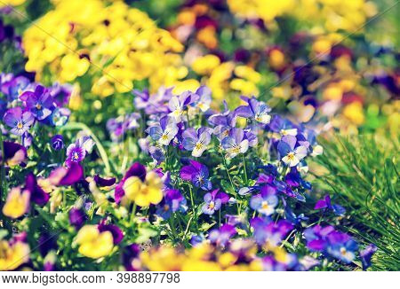 Blossoming Colorful Viola Flowers In A Garden
