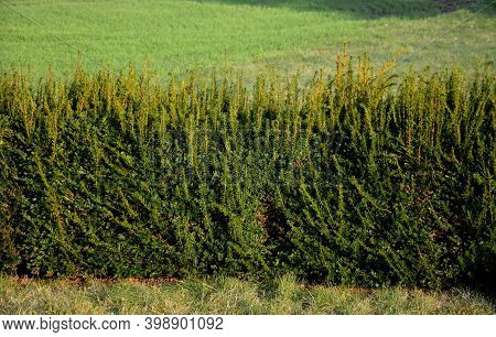 Taxus Baccata Is An Evergreen Conifer Suitable For Both Low And High Hedges. It Also Tolerates More