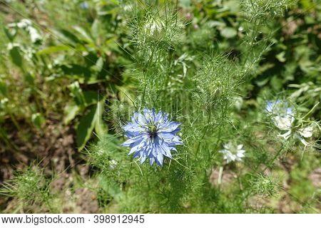 Blue Flower In The Leafage Of Nigella Damascena In June