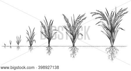 Rice Growth. Plant Crop Growing Cycle. Sketch Life Stages Of Farm Cereal. Hand Drawn Spikelets In So