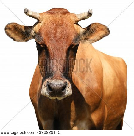 Cute Brown Cow On White Background, Closeup View. Animal Husbandry
