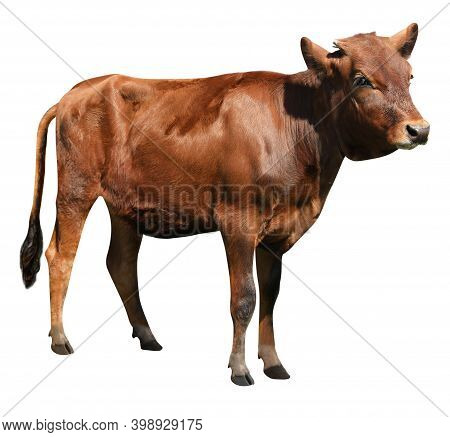 Cute Brown Calf On White Background. Animal Husbandry