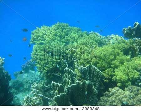 coral reef iin the Red sea . poster