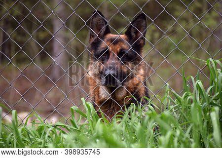 German Shepherd (alsatian) Observing After The Fence.