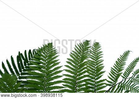 In Selective Focus Rainforest Fern With Leaves On White Isolated Background For Green Foliage Backdr