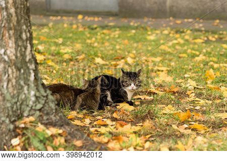 Two Stray Cats Lie Among The Autumn Foliage On The Lawn Near The City Building. The Head Of One Cat