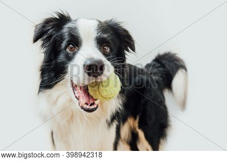 Funny Portrait Of Cute Puppy Dog Border Collie Holding Toy Ball In Mouth Isolated On White Backgroun