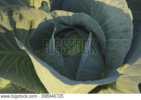Cabbage Grow In The Garden. Agriculture. Healthy And Healthy Food For Humans. The Cultivation Of Cab