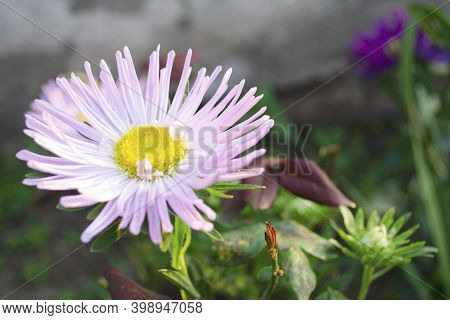 Aster Flower On A Green Background. Autumn Flowers In Bloom During The Day. The Queen Of Autumn Is A