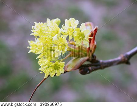 Lyric Twig Cornelian Cherry With Yellow Flowers On Grey Blurred Background. Macro View Of Cornus Mas