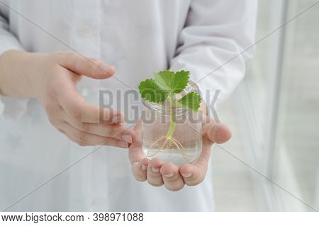 Female Hands Hold Transparent Jar With Little Green Mint Sprout With Roots. Taking Care About Growin