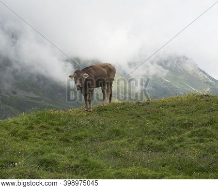 Close Up Of Brown Cute Grazing Cow At Alpine Meadow, Pasture In Stubaital Valley. Summer. Tirol Alps