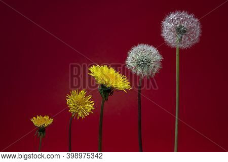 Horizontal Conceptual Photo Of An Isolated Five Dandelions Flowers Of Different Degrees Of Maturatio