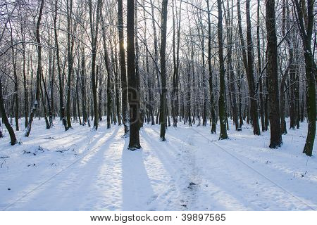 Shadows On Snow In Forest
