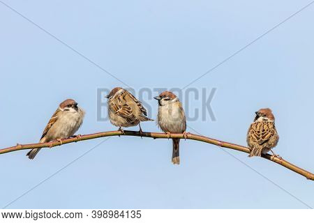 Tree Sparrows On Branch (passer Montanus) Close Up