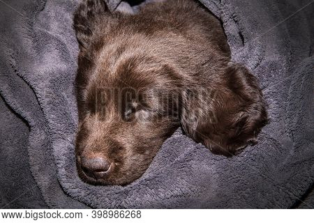 Retriever Puppy Sleeping In A Blanket. Challenging Day. Rest After A Busy Day. Brown Flat Coated Ret