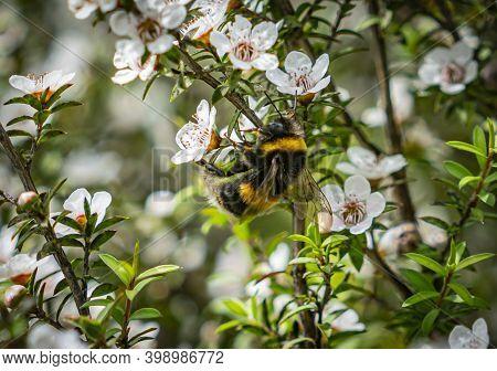 Bee Pollinating White Flowers Of Nz Manuka Tree.