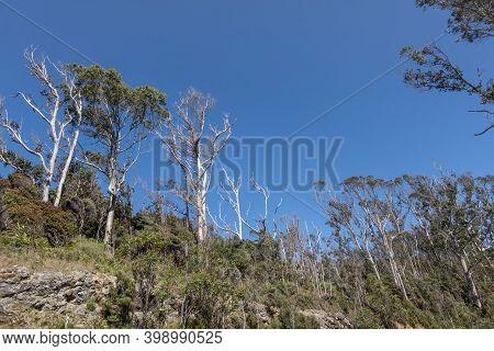 Forest Of Eucalyptus Trees On Stewart Island.