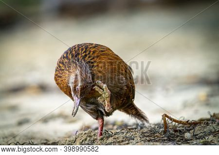 Weka Adult Standing On One Leg Scratching An Itch On Beach In Sydney Cove On Stewart Island