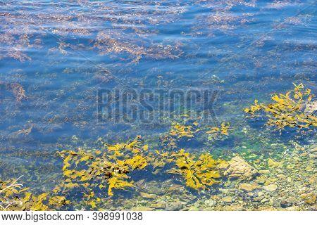 Coastal Water With Swirling Seaweed And Giant Yellow Kelp Of Coast Of Stewart Island.