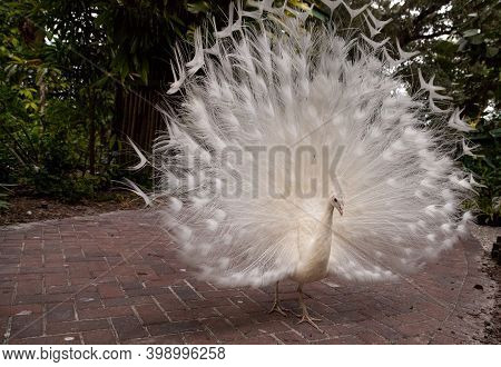 Impressive Displaying Male White Peacock