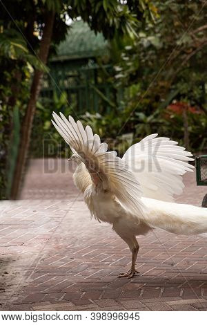 Wings Spread, Displaying Male White Peacock Pavo Cristatus In The Tropics.