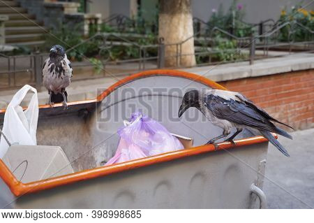 Raven And City. Bird On Garbage. Waste Is Food For Animals. Crows On Waste. Animals In The Rubbish.