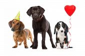 three puppies celebrating a birthday on white background poster