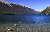 wild ducks swimming in pure lake rotoiti New Zealand poster