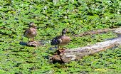 Pleased wild ducks sitting on a snag among water lilies poster