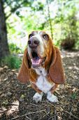 a basset hound barking or howling in a park poster