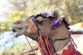 portrait of a beautiful decorated camel in India poster