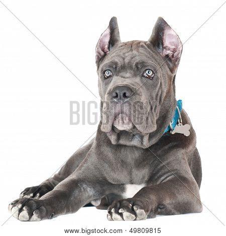 blue cane corso puppy on white