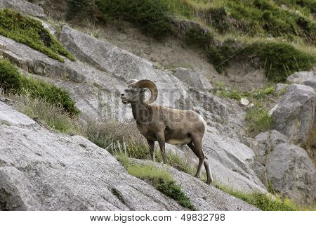 Bighorn Sheep Single