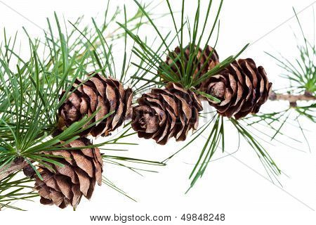green branch of larch with cones on isolated on white background close up poster