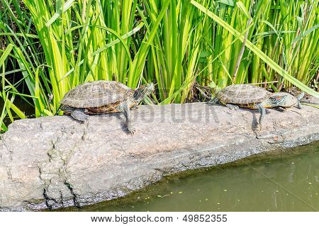 Red-eared Turtles on the rocks of the North Lake Central Park New York poster