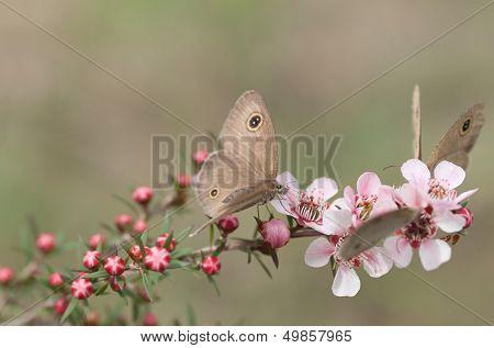 Spring Dingy Ring Butterflies On Pink Australian Leptospernum Flowers