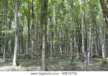 Relict Forest In Georgia