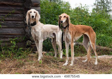 White And Brown Salukies