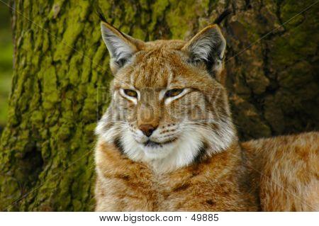 Lynx 1