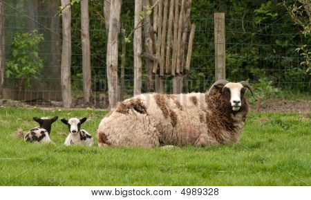 Jacob Ewe with twin lambs behind her on the grass poster