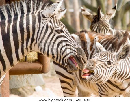 Keep Away From My Food - Two Zebra Biting