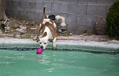 A brown and white pitbull reaching for his toy by at the side of the swimming pool poster