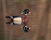 A wood duck is reflected in the water of a still pond poster