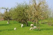 Sheep and lambs in fruit orchard with spring poster
