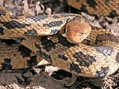 Photograph of a Fox Snake in a strike position. poster