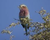 Adult lilac breasted roller sitting on a branch next to the Auob river bed on a branch. poster